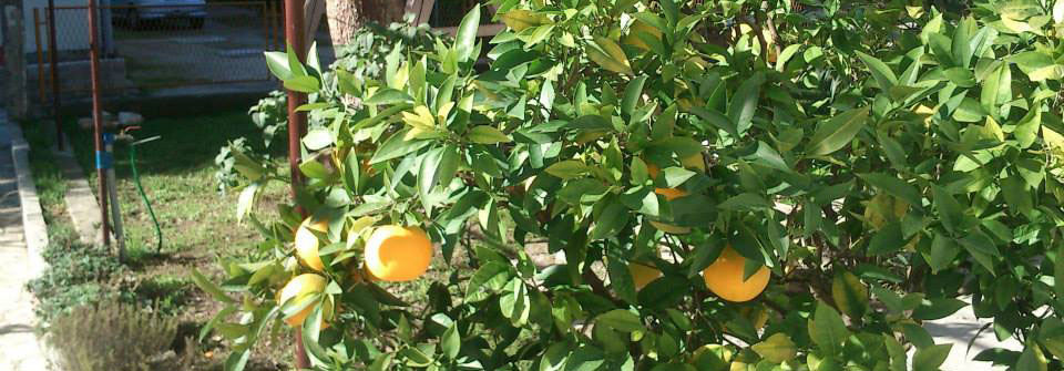 orange tree at kastela eco garden