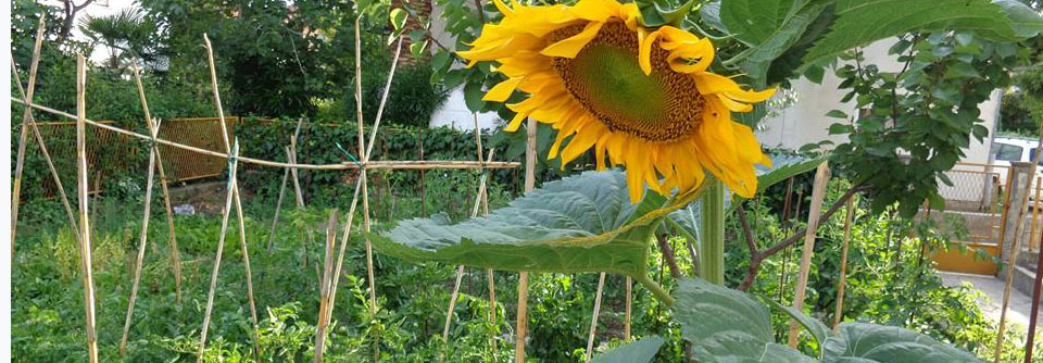 sunflower at kastela eco garden